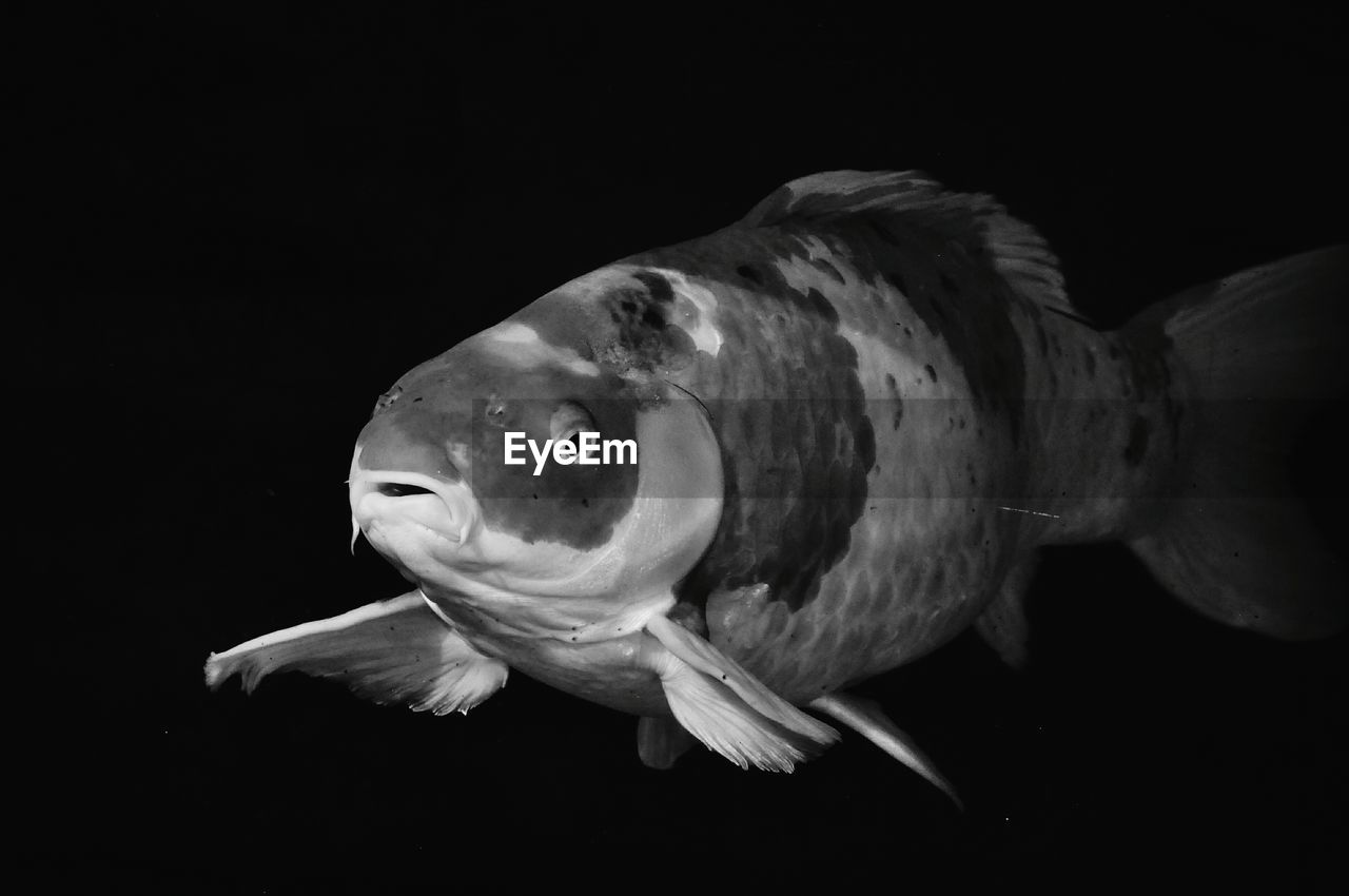 Close-Up Of Fish Over Black Background