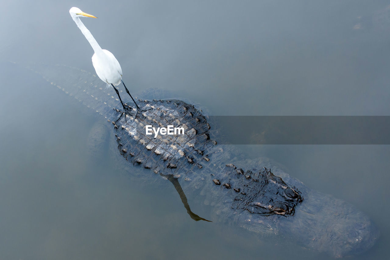 Great Egret Standing On Top Of Crocodile In Lake