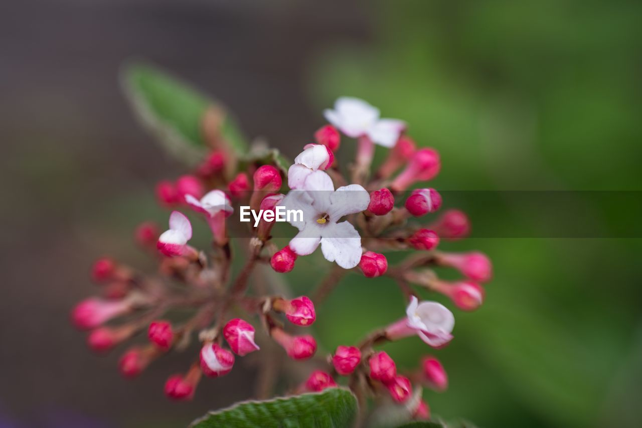 flower, flowering plant, plant, beauty in nature, fragility, freshness, growth, vulnerability, close-up, petal, pink color, flower head, no people, selective focus, focus on foreground, inflorescence, day, nature, white color, botany, springtime, outdoors, pollen, lilac
