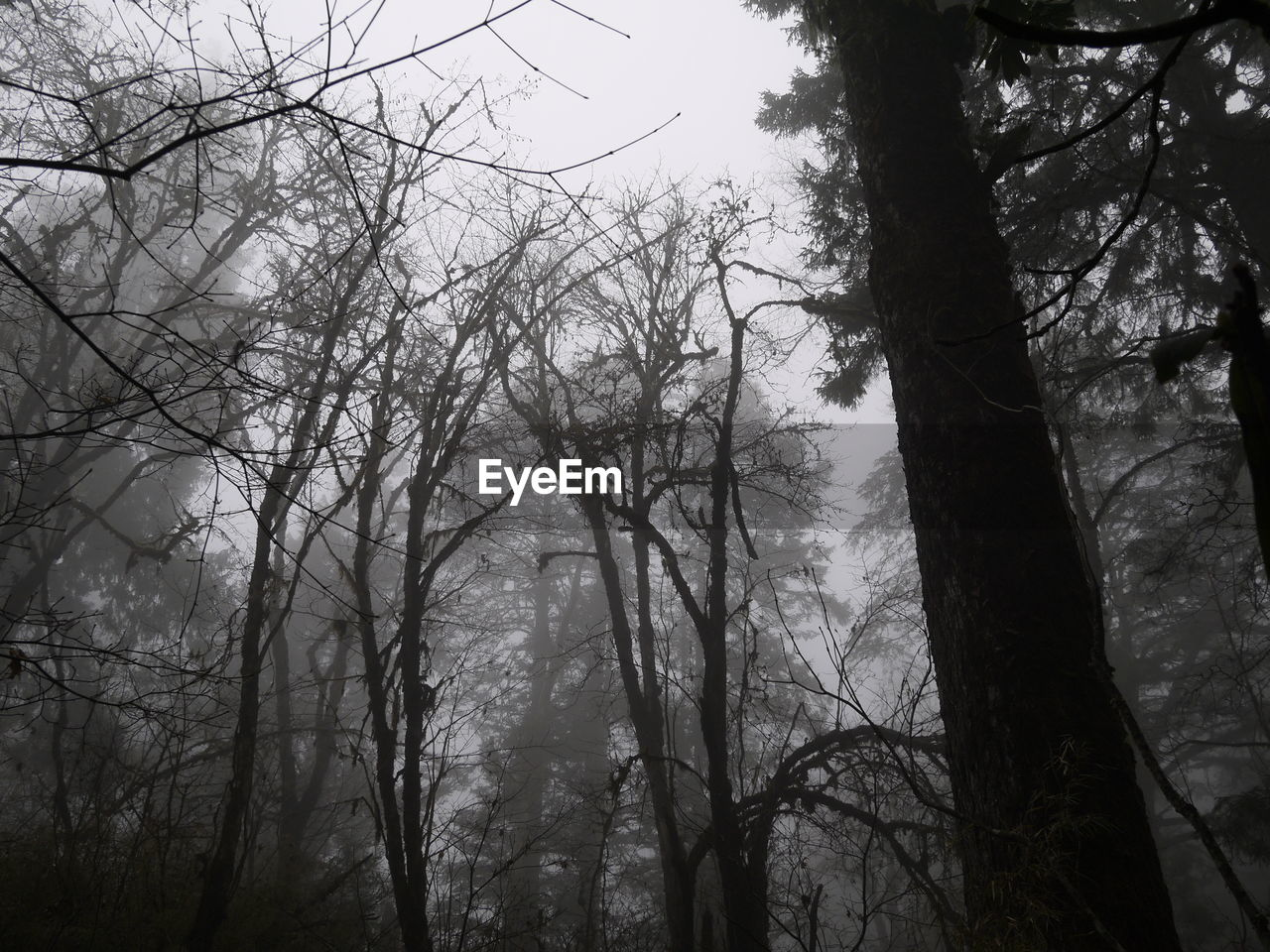 Low angle view of silhouette bare trees in forest during foggy weather