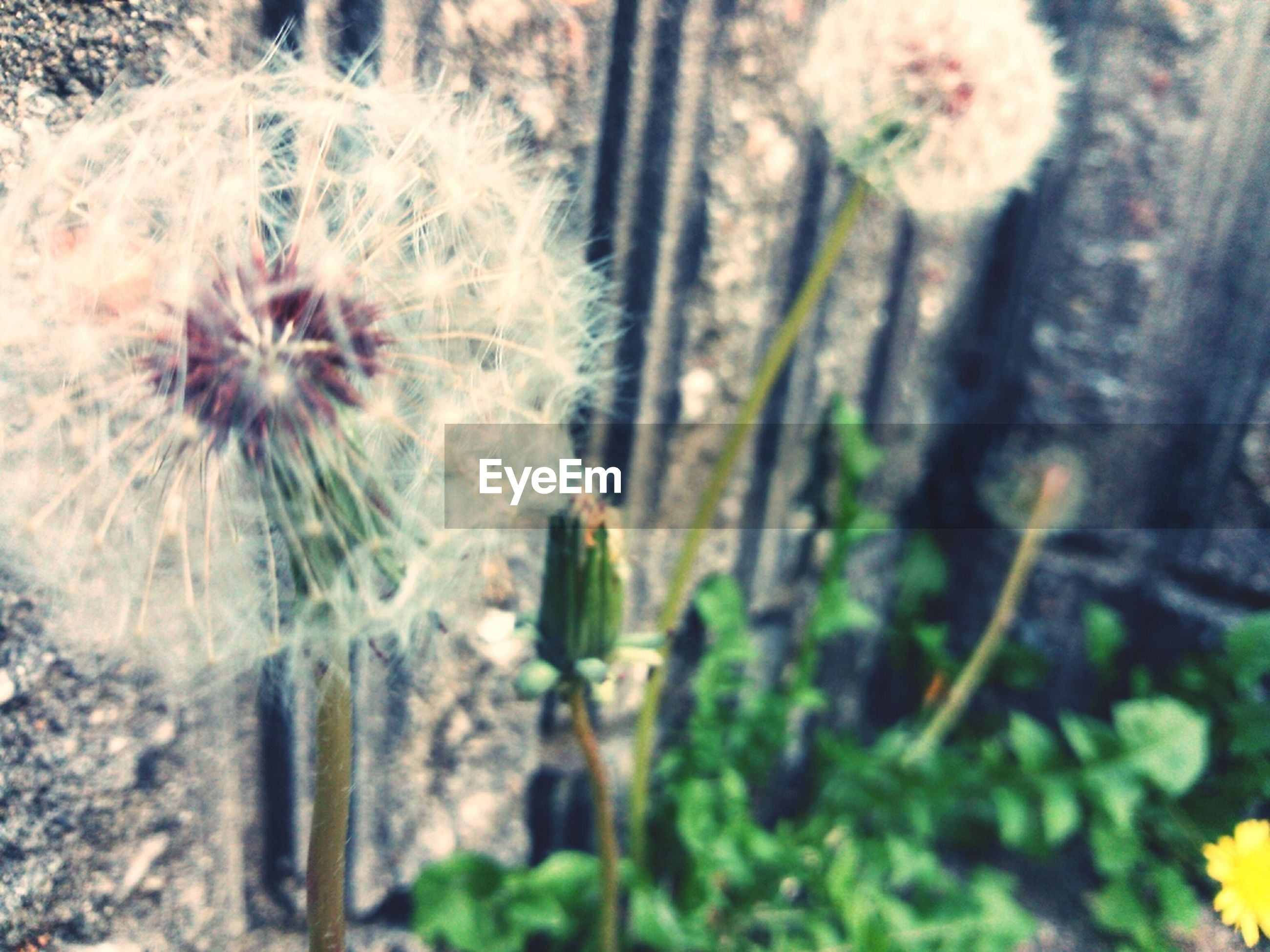 flower, growth, fragility, freshness, dandelion, close-up, plant, nature, focus on foreground, beauty in nature, flower head, stem, selective focus, wildflower, uncultivated, botany, blooming, day, in bloom, outdoors