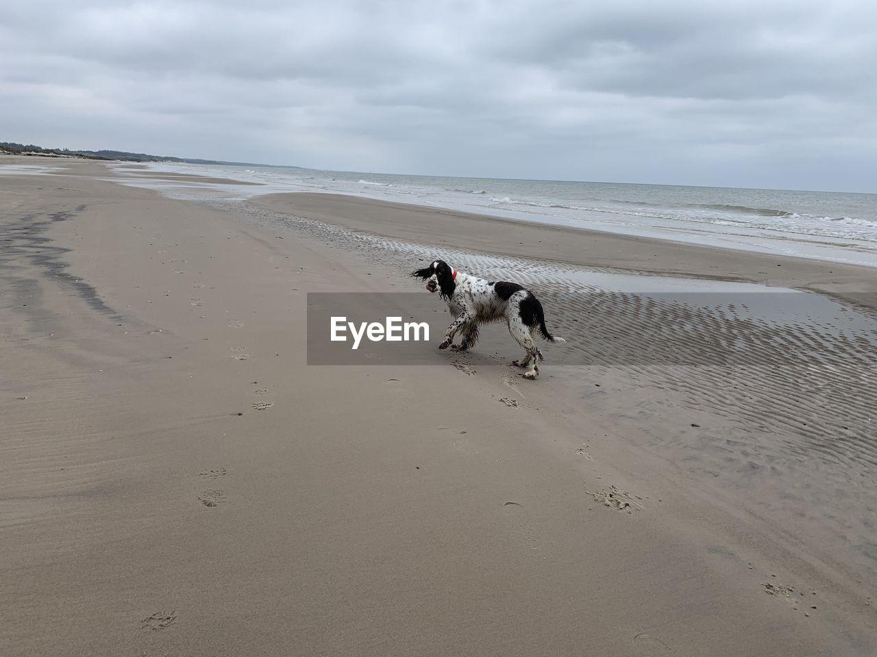 domestic, land, mammal, domestic animals, beach, pets, dog, canine, animal, sky, animal themes, sea, one animal, cloud - sky, sand, vertebrate, water, horizon, horizon over water