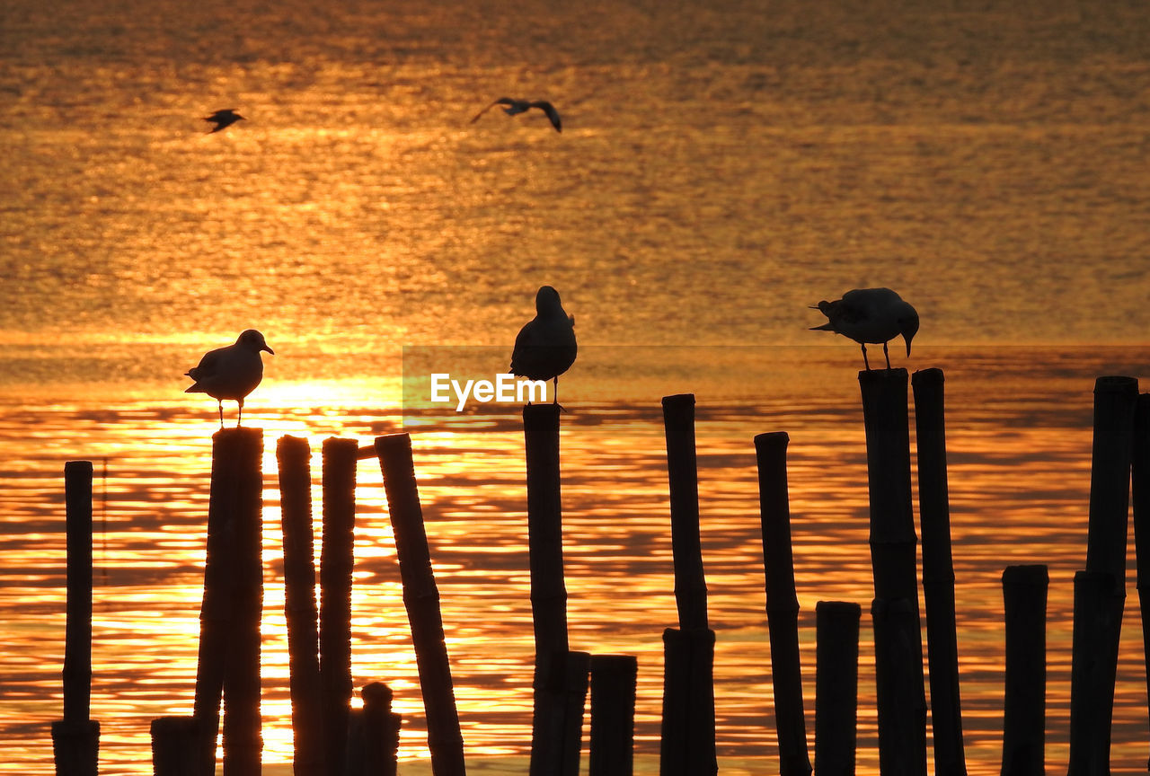 bird, animal, animal themes, animals in the wild, animal wildlife, vertebrate, sunset, group of animals, water, perching, sea, silhouette, sky, no people, scenics - nature, beauty in nature, nature, orange color, large group of animals, post, wooden post, outdoors, seagull, flock of birds