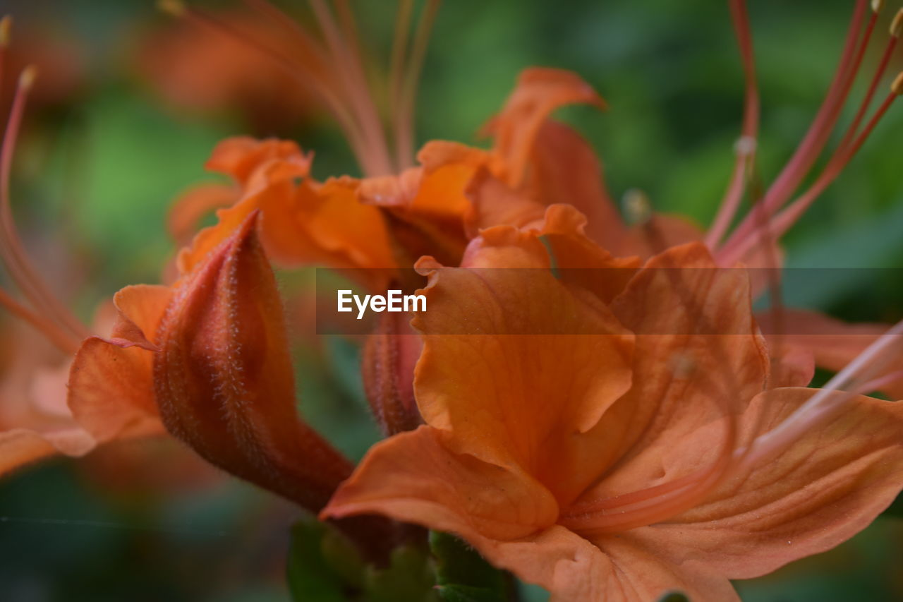 petal, beauty in nature, flowering plant, plant, flower, vulnerability, fragility, close-up, flower head, growth, inflorescence, freshness, orange color, focus on foreground, nature, no people, lily, day lily, day, rose, pollen