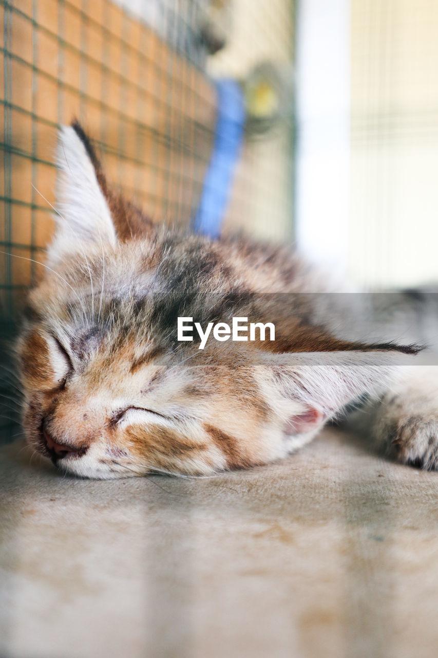 CLOSE-UP OF TABBY SLEEPING