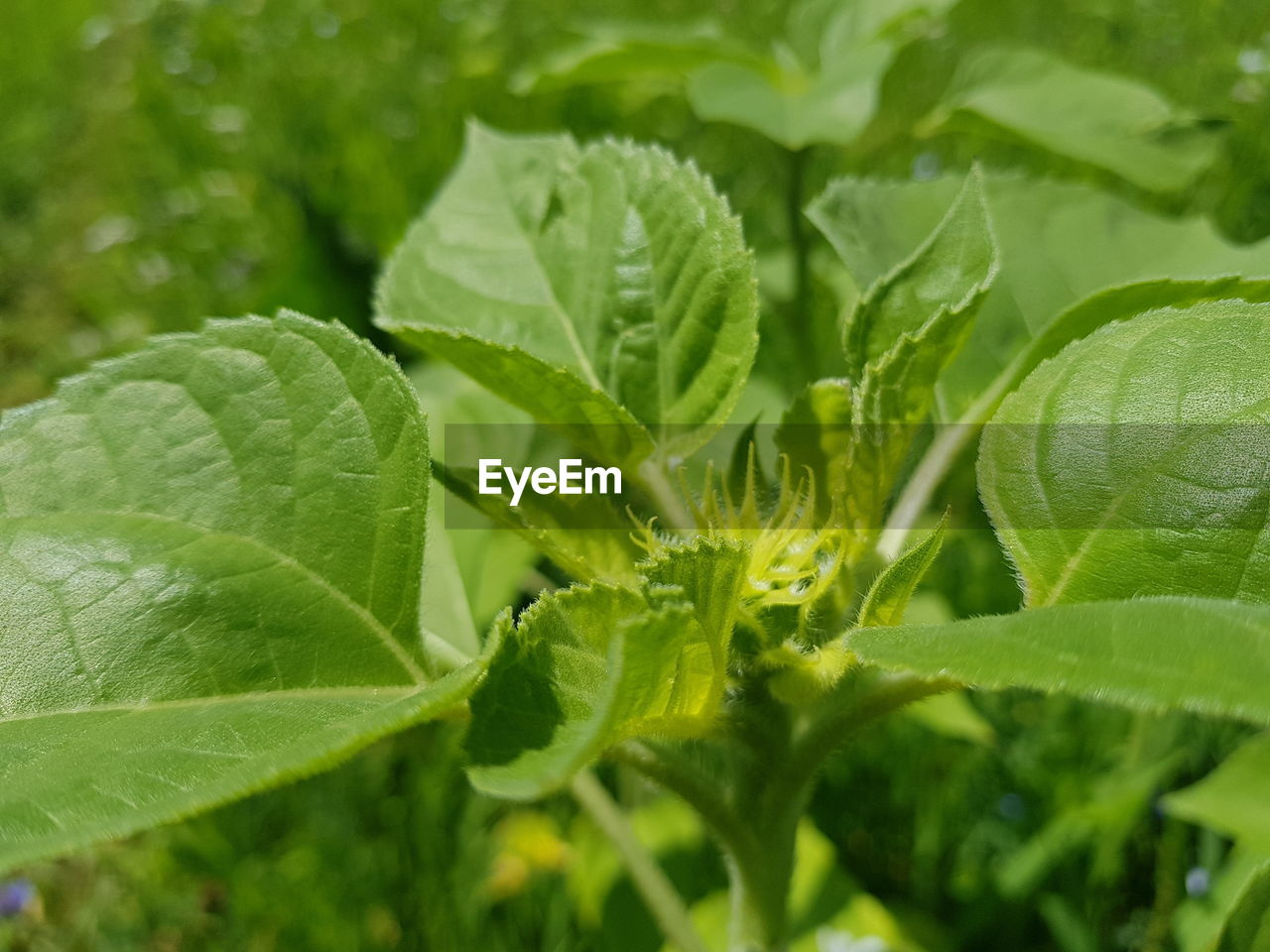 green color, leaf, plant part, plant, growth, close-up, beauty in nature, freshness, nature, food, day, food and drink, no people, selective focus, outdoors, herb, leaf vein, focus on foreground, high angle view, wellbeing, leaves