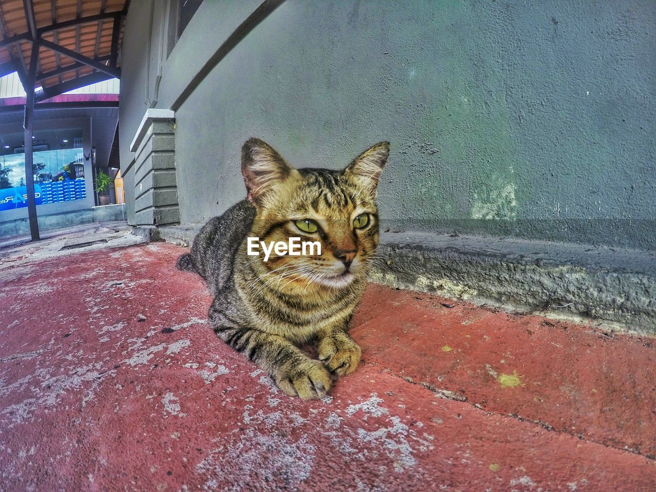 animal themes, one animal, looking at camera, domestic cat, mammal, portrait, day, feline, pets, domestic animals, no people, outdoors, sitting