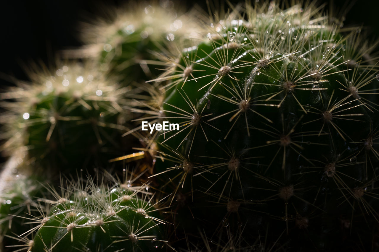 growth, plant, cactus, succulent plant, nature, close-up, beauty in nature, no people, fragility, vulnerability, flower, dandelion, thorn, focus on foreground, spiked, green color, flowering plant, freshness, selective focus, night, outdoors, dandelion seed, flower head, softness, spiky