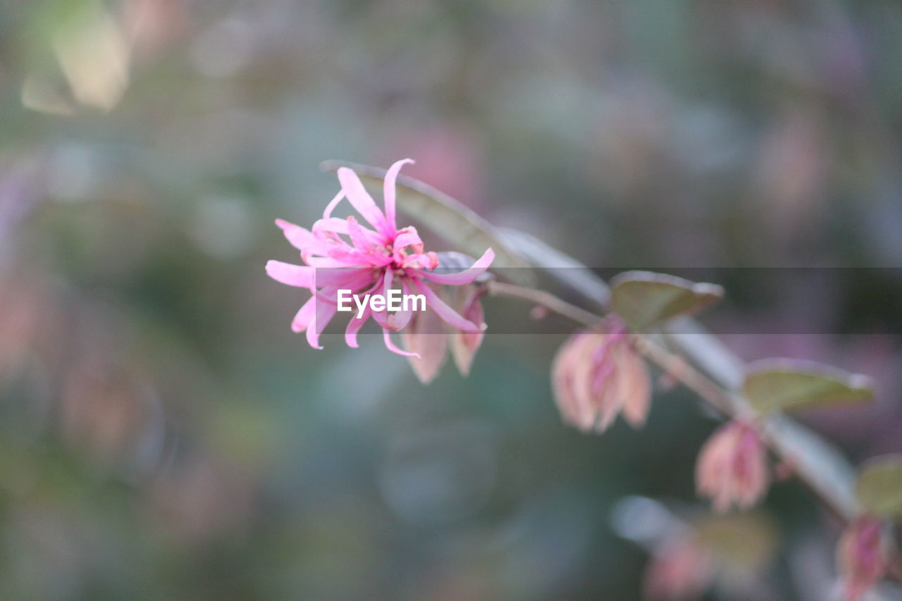 flowering plant, flower, fragility, vulnerability, plant, beauty in nature, freshness, petal, growth, pink color, close-up, inflorescence, flower head, focus on foreground, nature, day, selective focus, no people, blossom, bud, springtime, outdoors, pollen, cherry blossom, spring