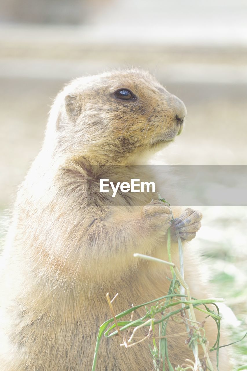 one animal, animal wildlife, focus on foreground, mammal, animals in the wild, vertebrate, rodent, close-up, no people, day, nature, looking, outdoors, holding, looking away, land, animal hair