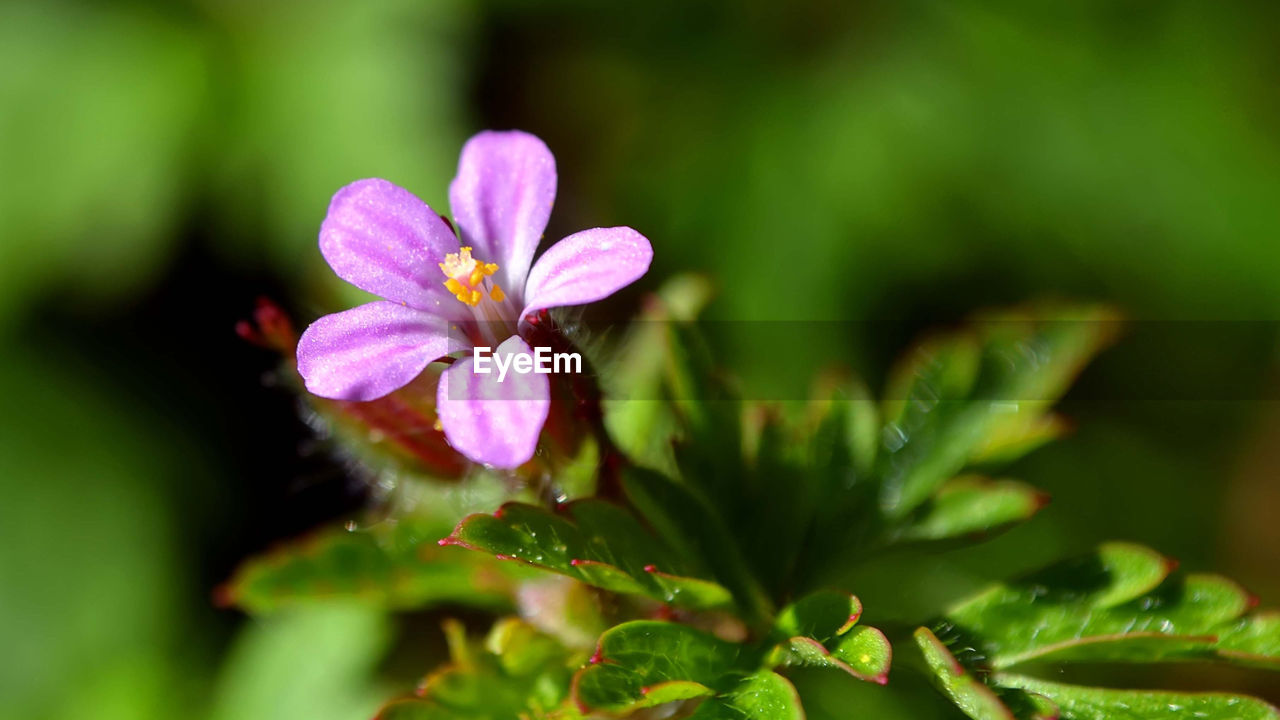 flowering plant, flower, plant, beauty in nature, vulnerability, freshness, fragility, growth, close-up, petal, inflorescence, pink color, flower head, selective focus, nature, green color, no people, leaf, plant part, day, outdoors, pollen, purple