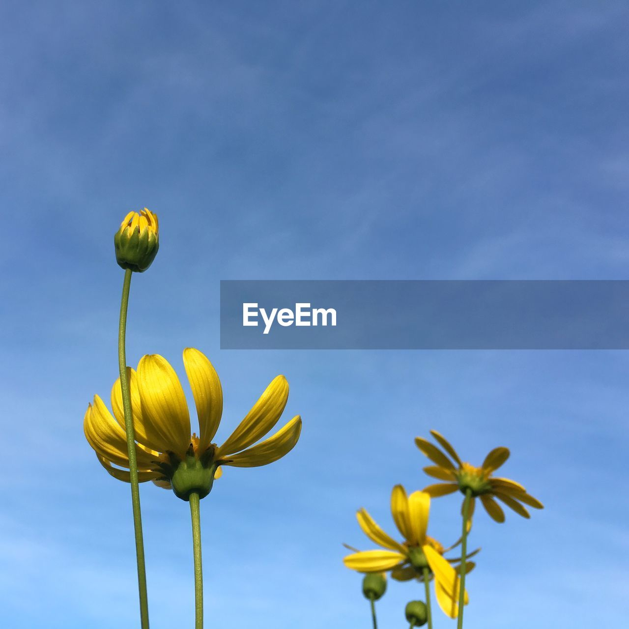 flower, flowering plant, yellow, fragility, plant, vulnerability, beauty in nature, growth, sky, freshness, nature, petal, close-up, low angle view, flower head, inflorescence, plant stem, no people, blue, day, outdoors, sepal