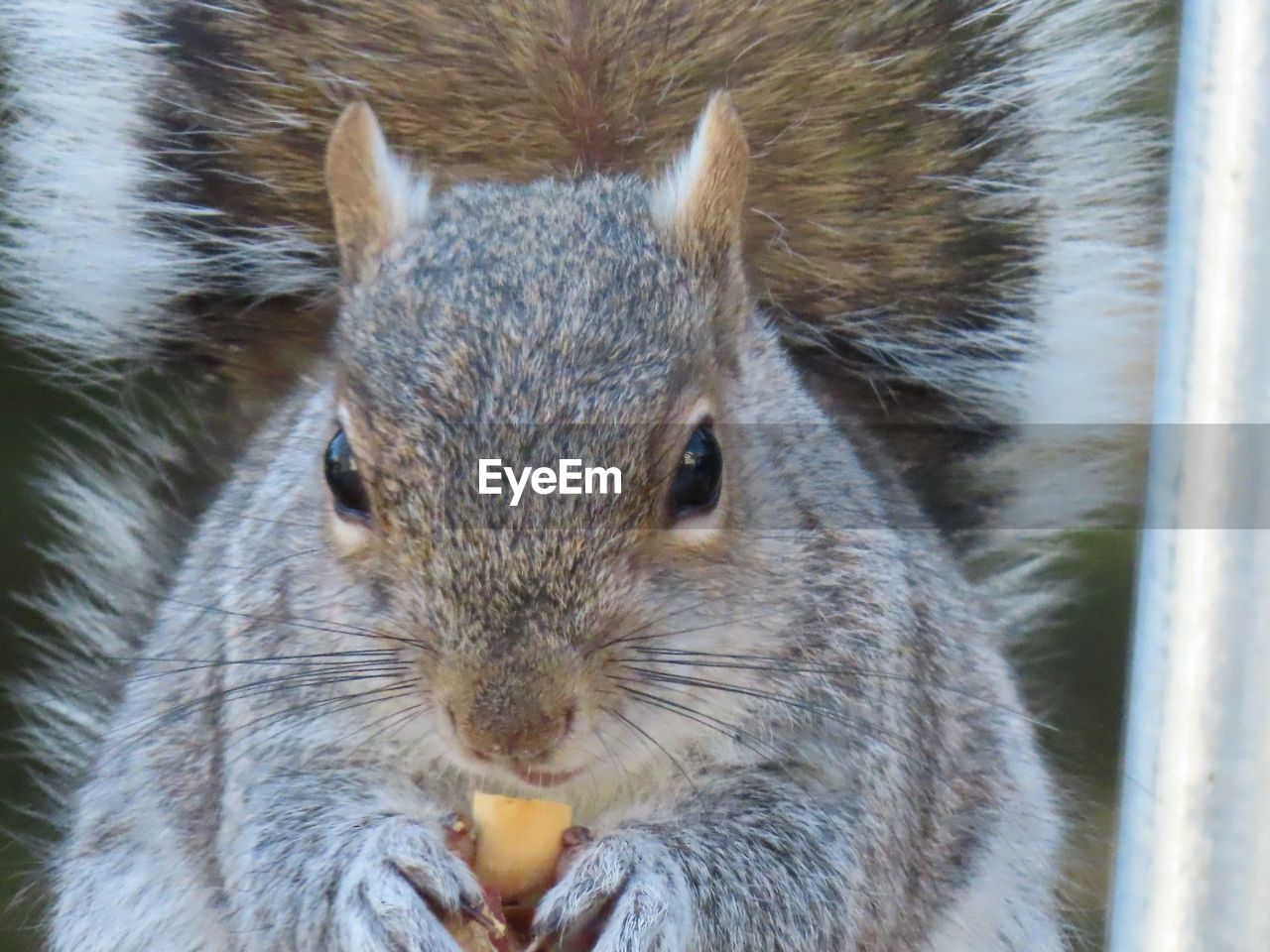 animal themes, animal wildlife, animal, one animal, rodent, mammal, animals in the wild, close-up, vertebrate, squirrel, portrait, no people, looking at camera, eating, day, food, focus on foreground, animal body part, whisker, food and drink, animal head, herbivorous