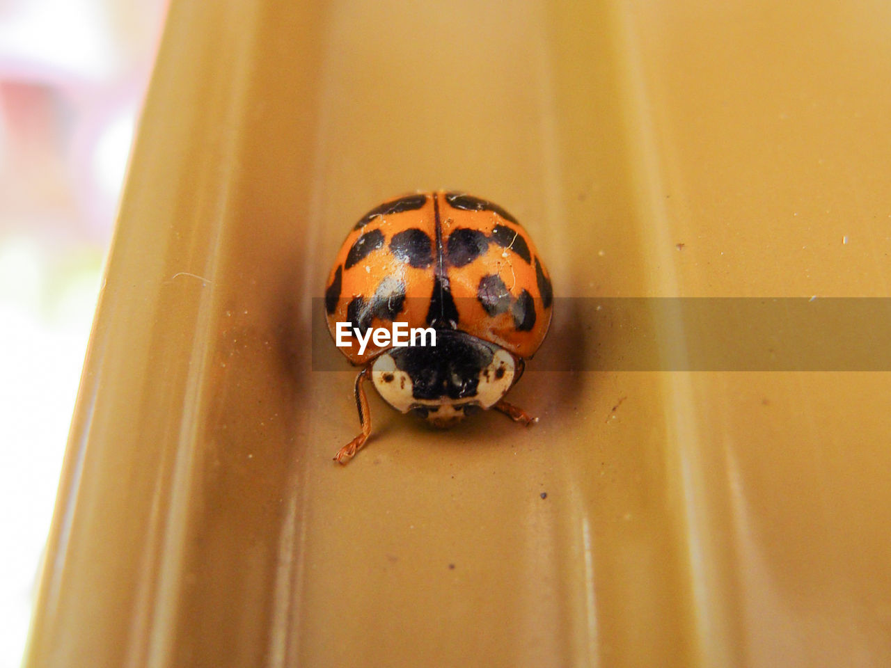 animal wildlife, animal themes, one animal, animal, animals in the wild, invertebrate, insect, close-up, ladybug, beetle, no people, spotted, day, outdoors, focus on foreground, zoology, selective focus, yellow, orange color, nature, small, animal eye