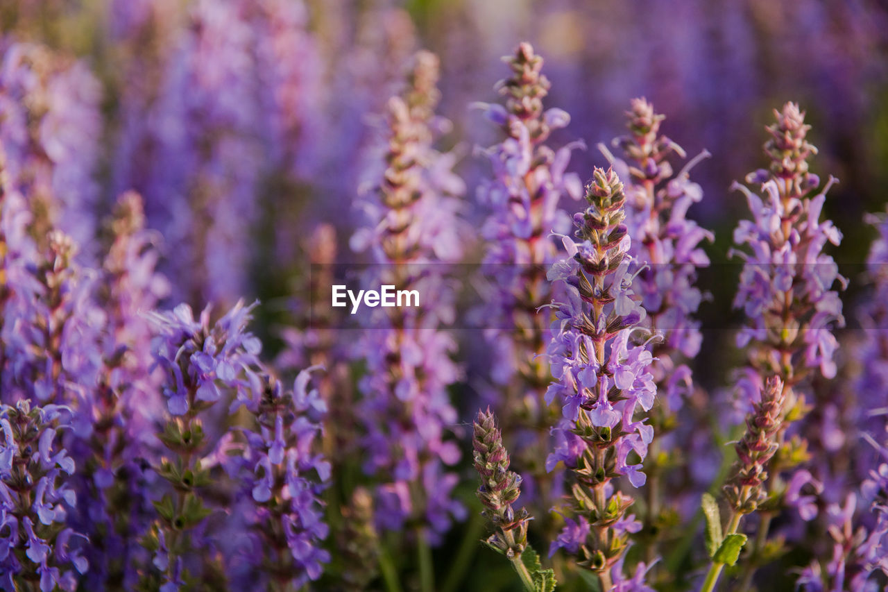 flower, flowering plant, plant, growth, purple, vulnerability, fragility, beauty in nature, freshness, close-up, lavender, selective focus, nature, day, field, no people, petal, lavender colored, land, outdoors, flower head