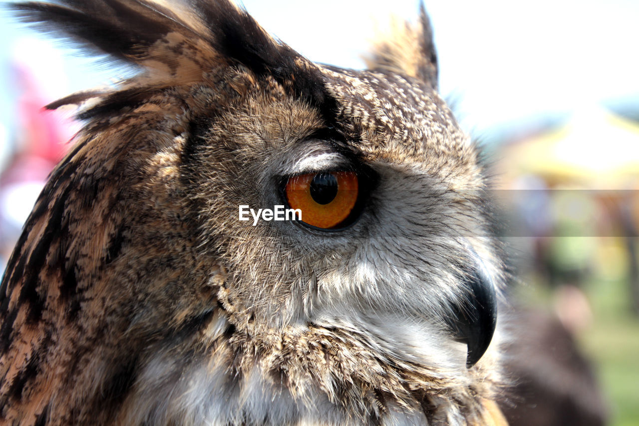 Close-Up Of Eagle Owl