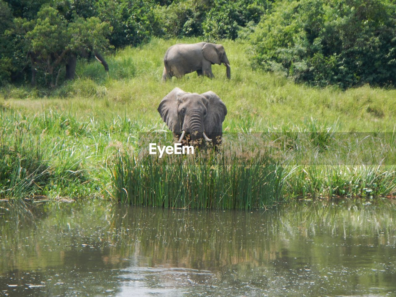 animal themes, animal, animals in the wild, mammal, animal wildlife, plant, grass, elephant, water, no people, nature, one animal, tree, vertebrate, day, african elephant, green color, outdoors, herbivorous, animal trunk, drinking