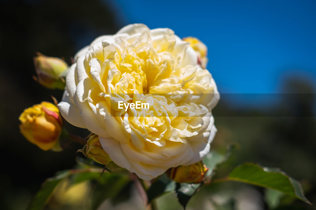 flower, flowering plant, plant, beauty in nature, fragility, vulnerability, freshness, petal, rose, rose - flower, close-up, flower head, inflorescence, growth, nature, focus on foreground, white color, no people, yellow, day, outdoors