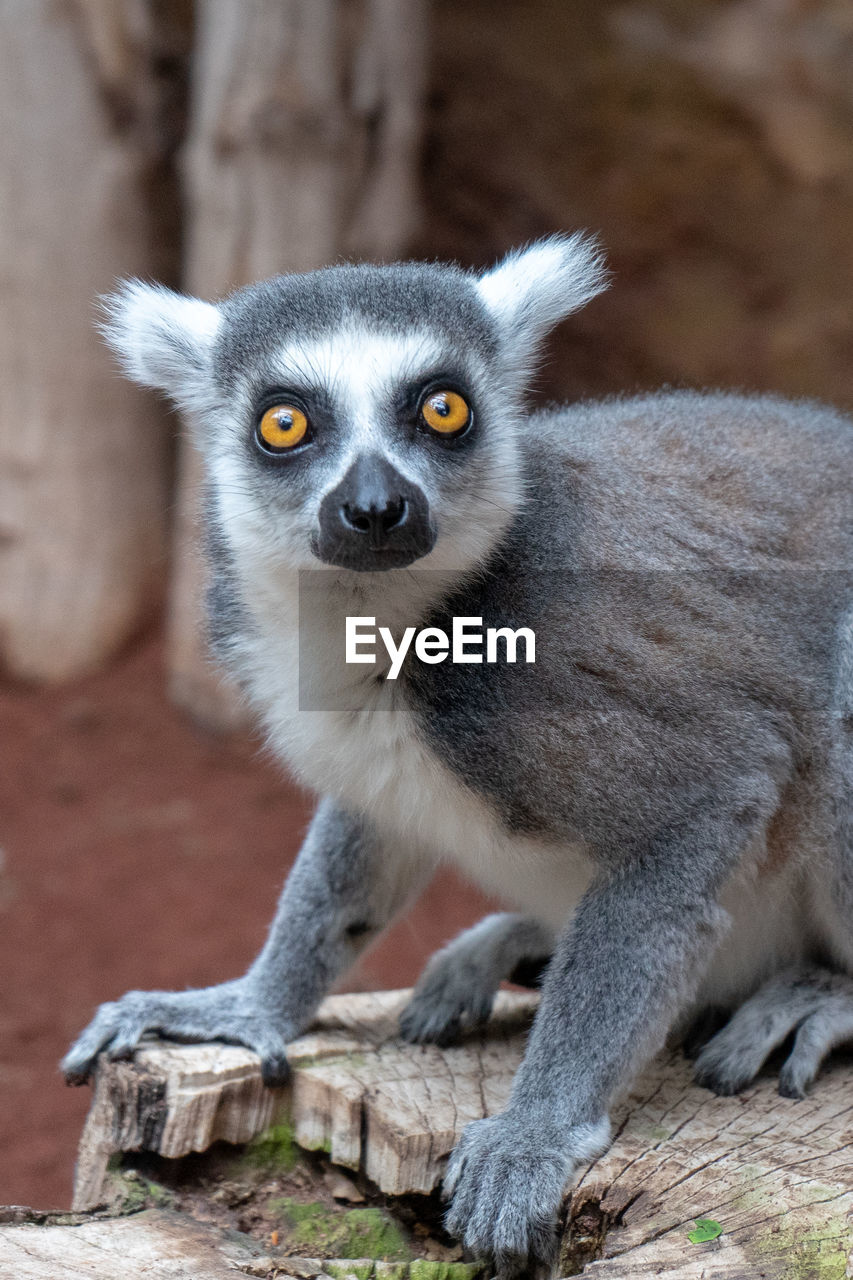 animals in the wild, animal wildlife, mammal, lemur, one animal, focus on foreground, portrait, no people, day, looking at camera, vertebrate, primate, tree, outdoors, sitting, nature, full length, zoo, yellow eyes