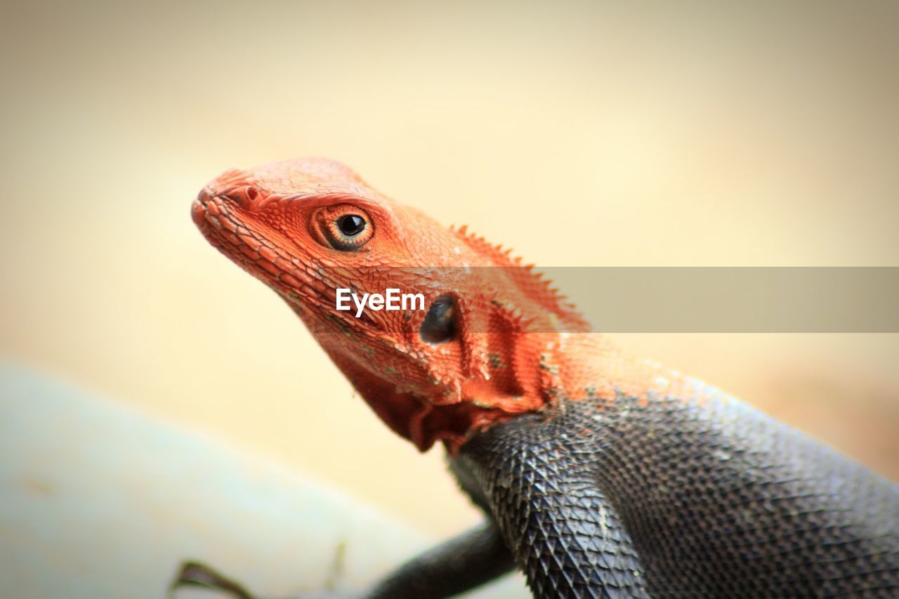animal, animal themes, vertebrate, lizard, reptile, one animal, animal wildlife, close-up, animals in the wild, bearded dragon, no people, focus on foreground, animal body part, animal head, nature, indoors, day, animal scale, side view, animal eye, iguana