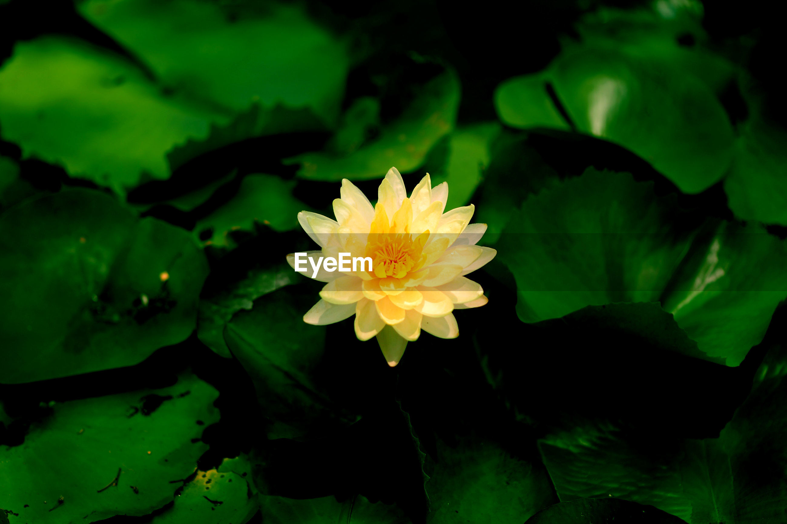 Close-up of yellow water lily amidst leaves in pond