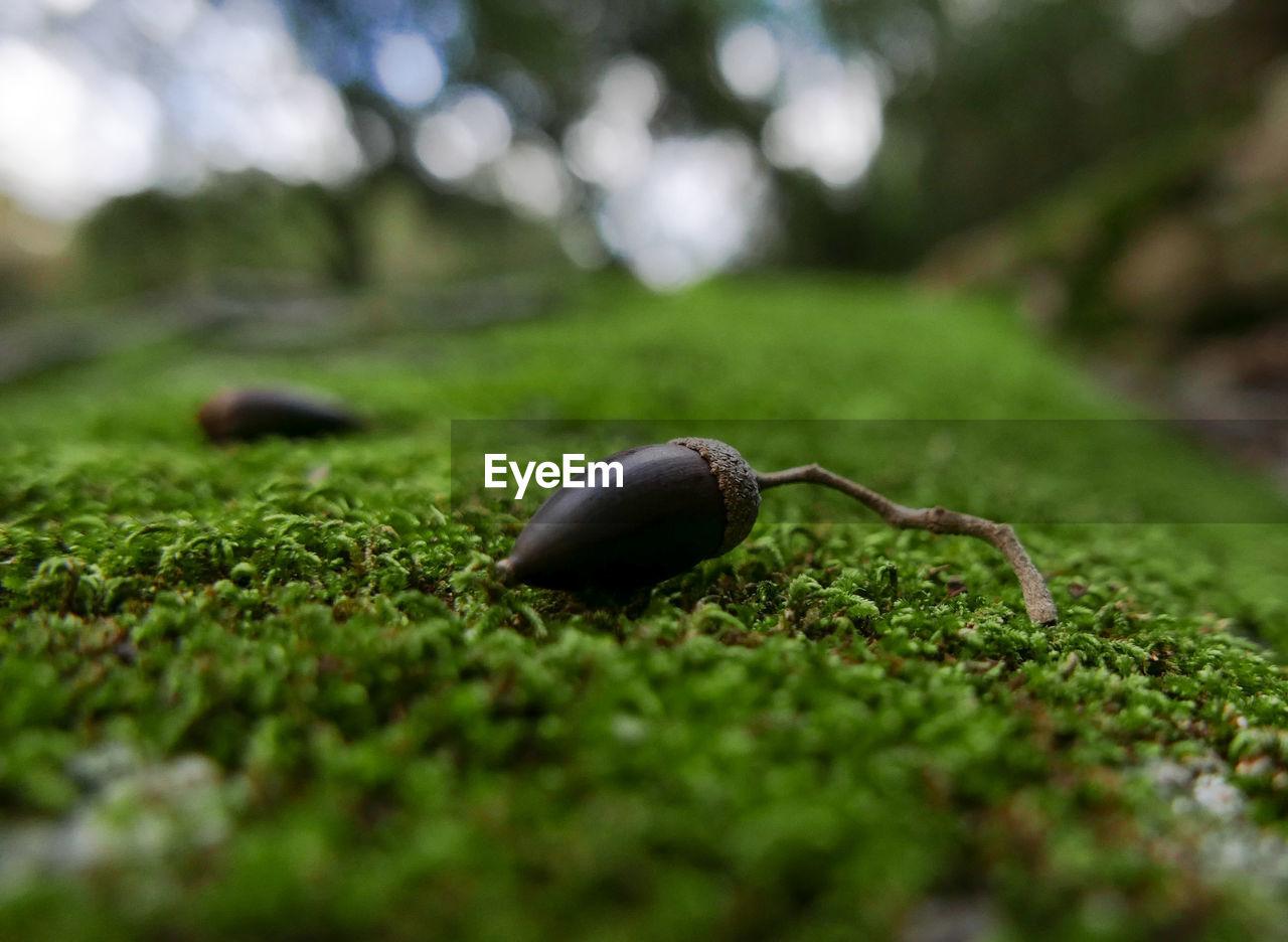 Close-up of acorn on moss