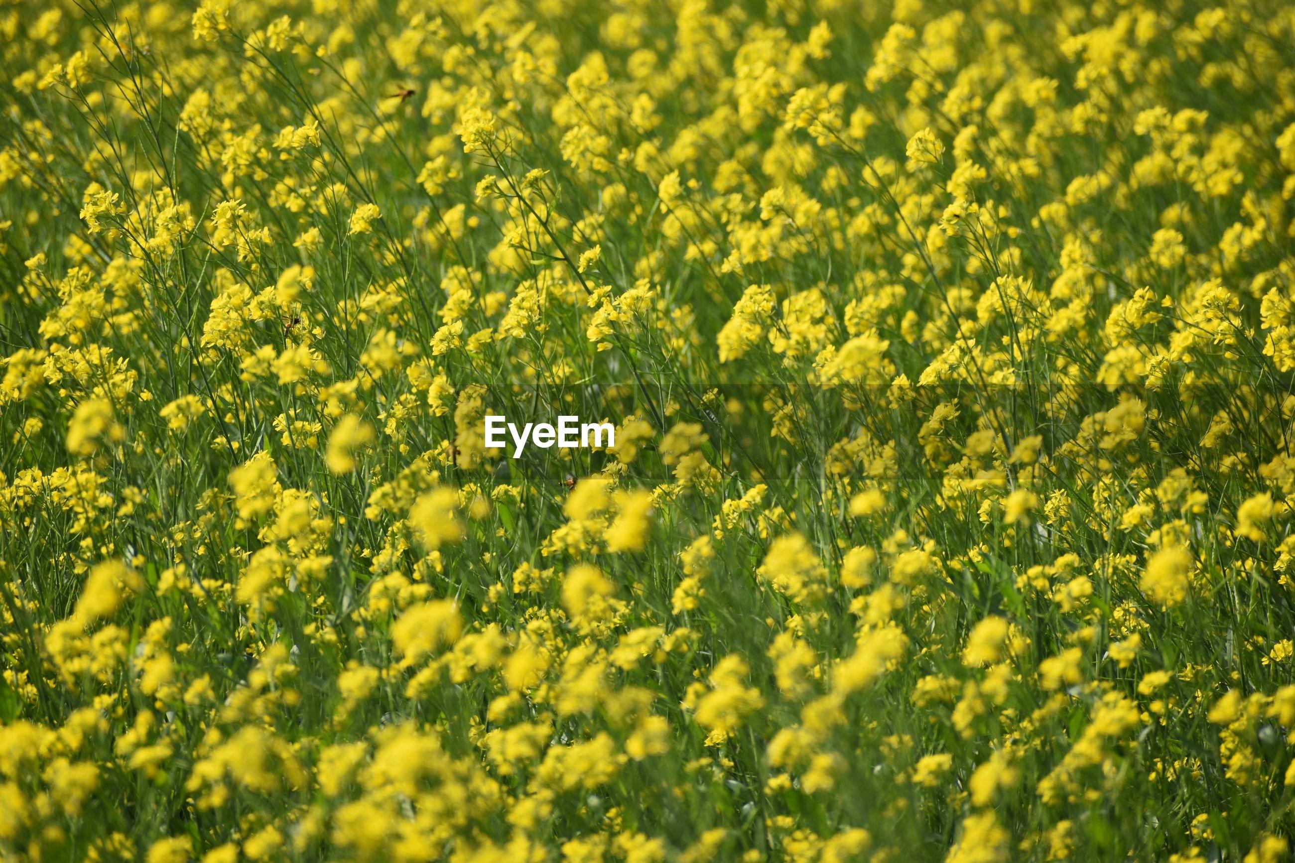 FULL FRAME SHOT OF FRESH YELLOW FLOWERING PLANTS
