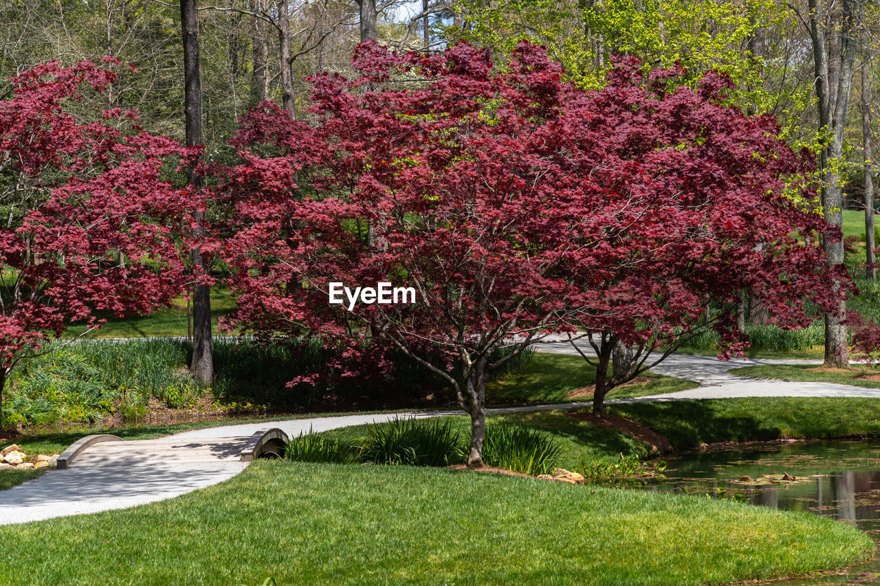 plant, flower, flowering plant, tree, beauty in nature, nature, growth, no people, grass, park, tranquility, pink color, blossom, park - man made space, freshness, tranquil scene, springtime, garden, outdoors, red, ornamental garden, garden path, cherry blossom