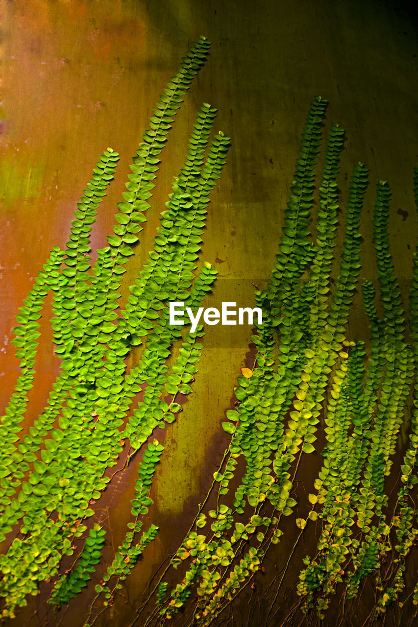 green color, growth, plant, no people, leaf, day, nature, fern, beauty in nature, plant part, close-up, backgrounds, pattern, outdoors, freshness, high angle view, full frame, tree, natural pattern, leaves