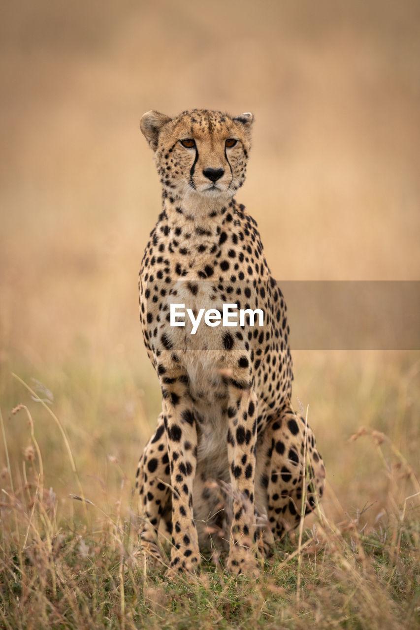 animals in the wild, animal wildlife, animal themes, animal, one animal, mammal, big cat, feline, no people, cat, cheetah, vertebrate, spotted, nature, grass, animal markings, looking, day, safari, outdoors, undomesticated cat
