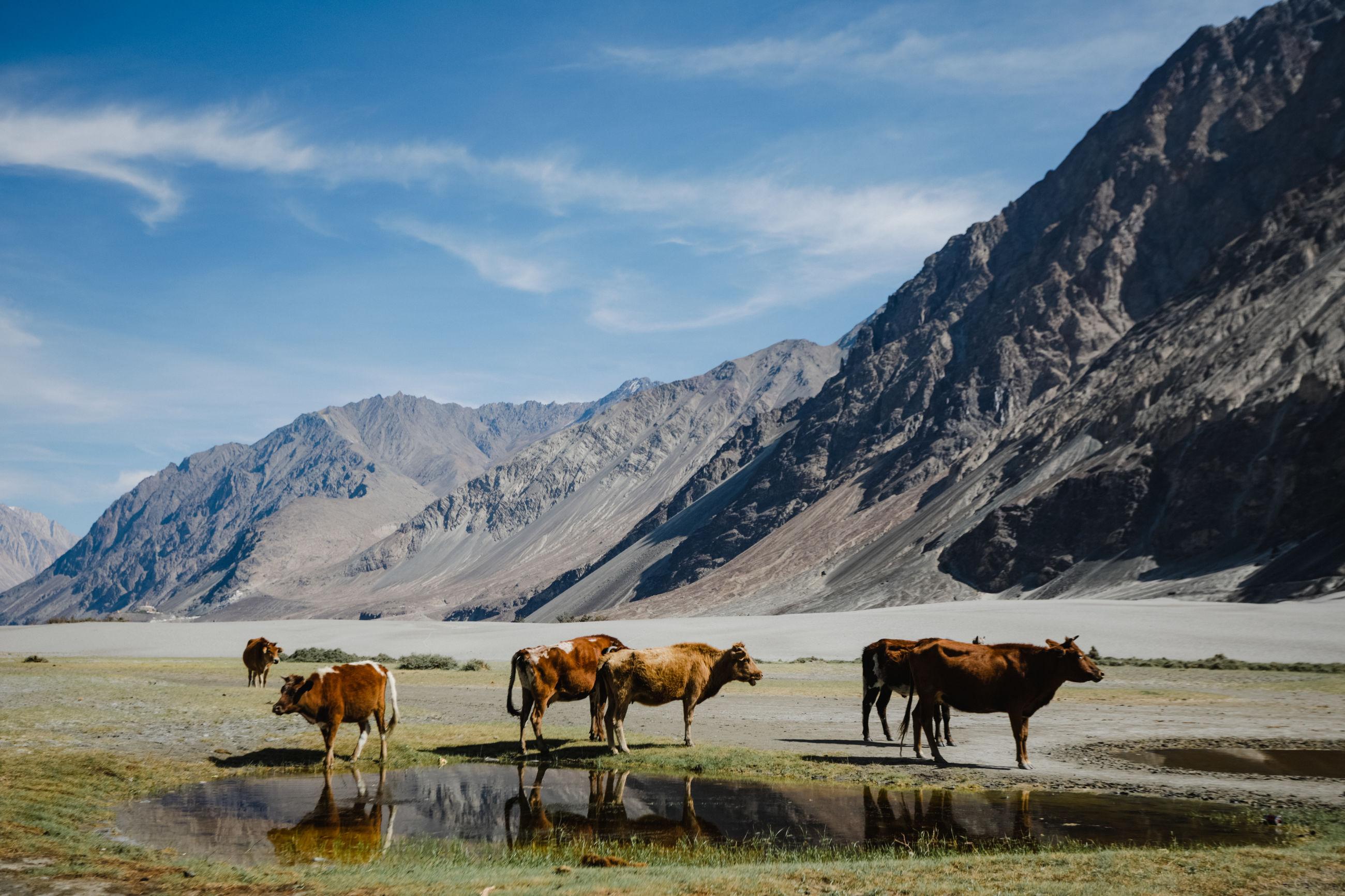 Cows on field against leh mountain range