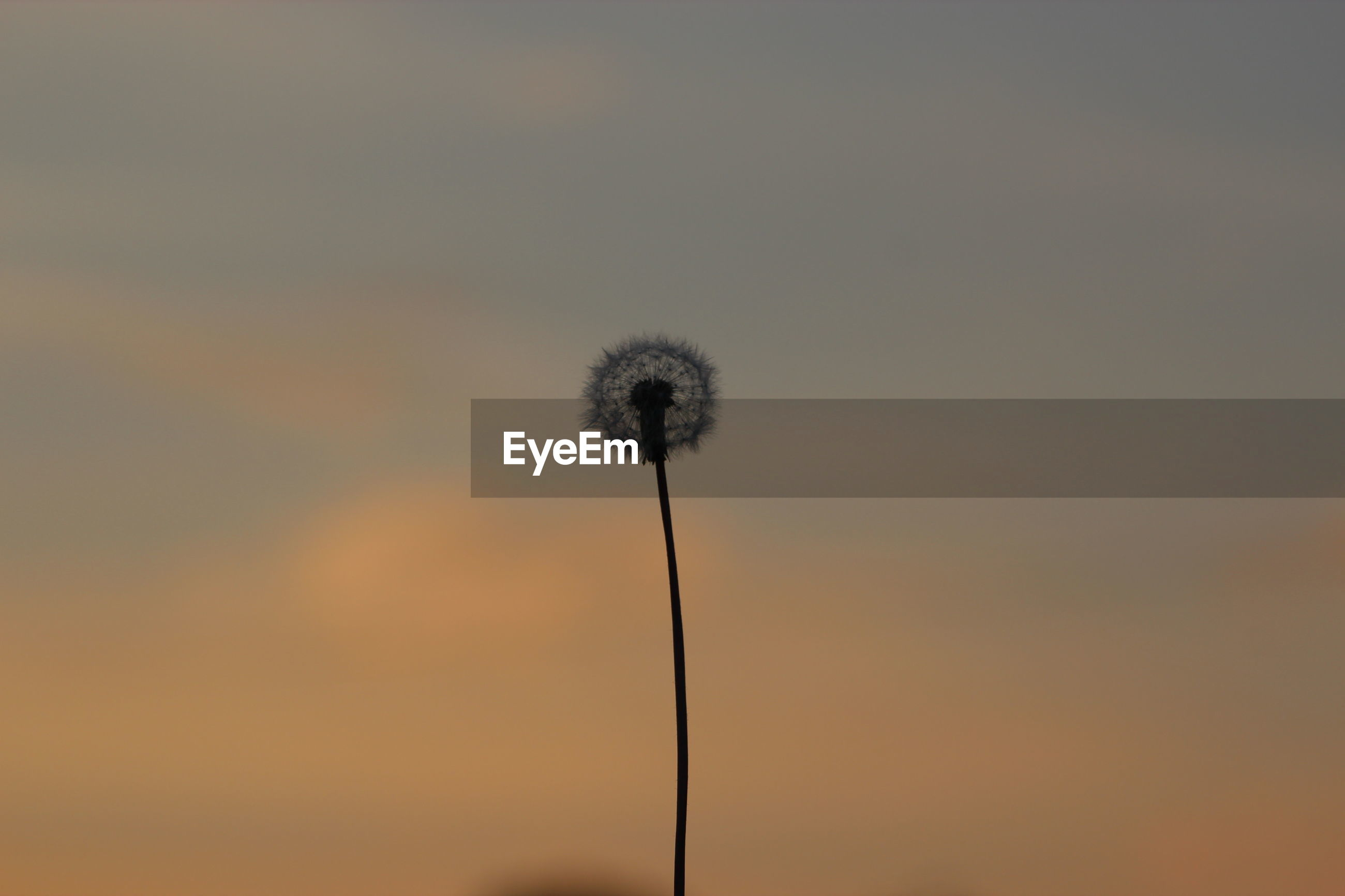 CLOSE-UP OF THISTLE AGAINST SKY DURING SUNSET