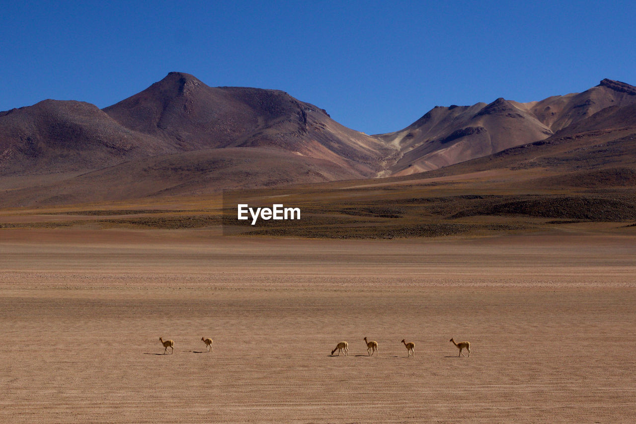 Vicunas On Arid Landscape Against Clear Blue Sky On Sunny Day