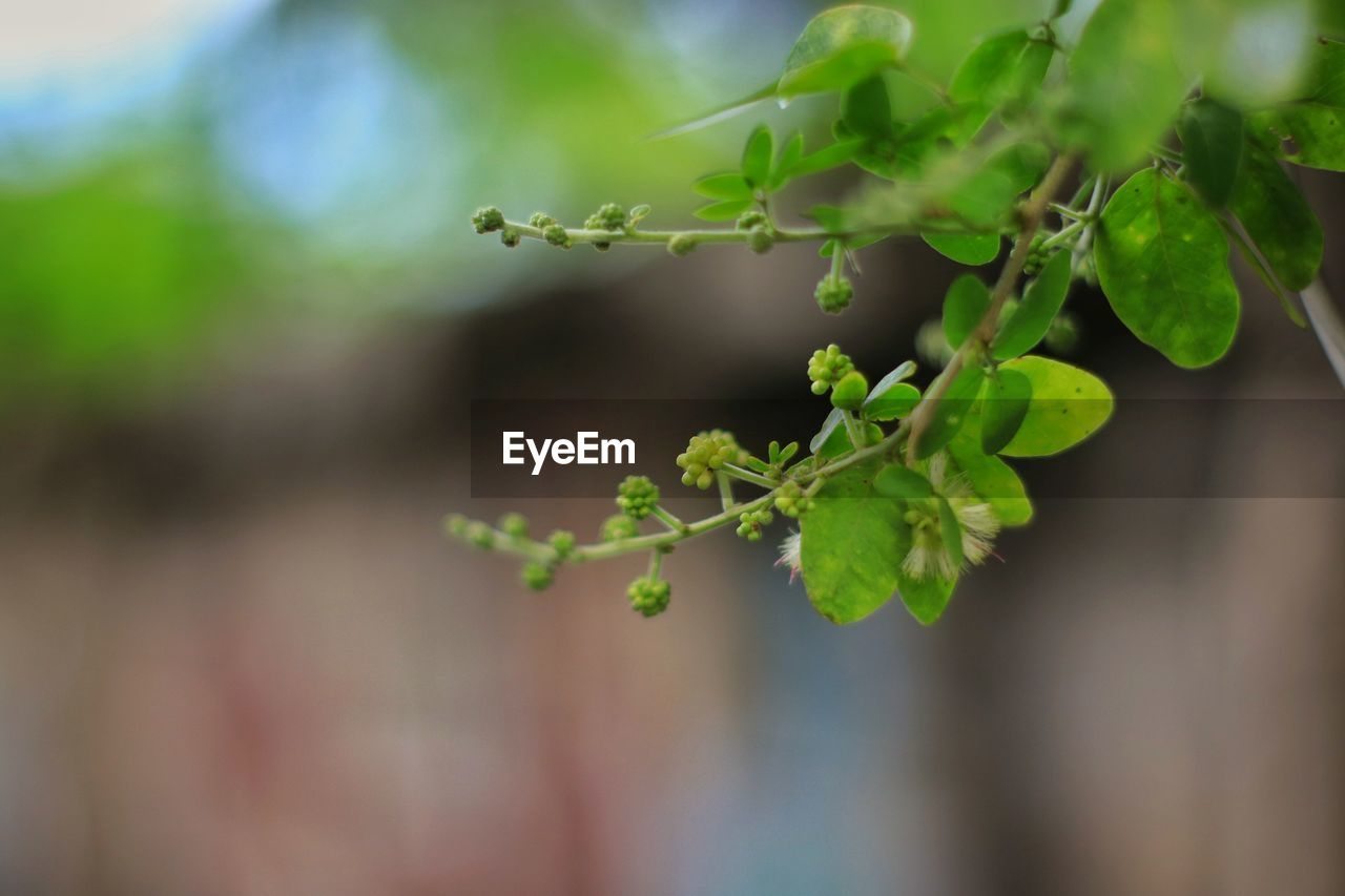 growth, plant part, leaf, green color, plant, close-up, focus on foreground, nature, beauty in nature, selective focus, day, no people, outdoors, freshness, fragility, vulnerability, tranquility, twig, plant stem, food and drink, leaves