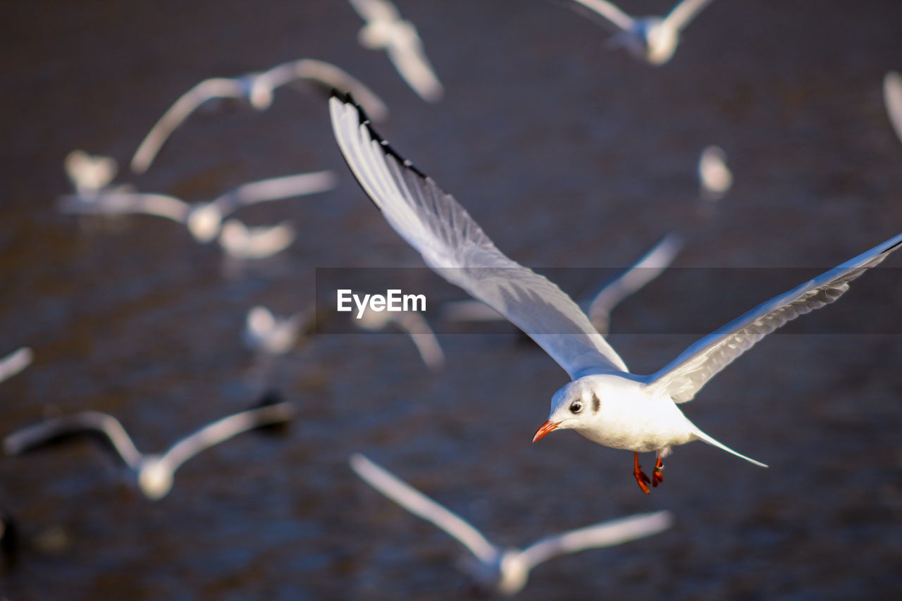 flying, bird, animal themes, spread wings, animal, animal wildlife, animals in the wild, vertebrate, seagull, no people, one animal, mid-air, focus on foreground, nature, water, day, motion, sea bird, white color