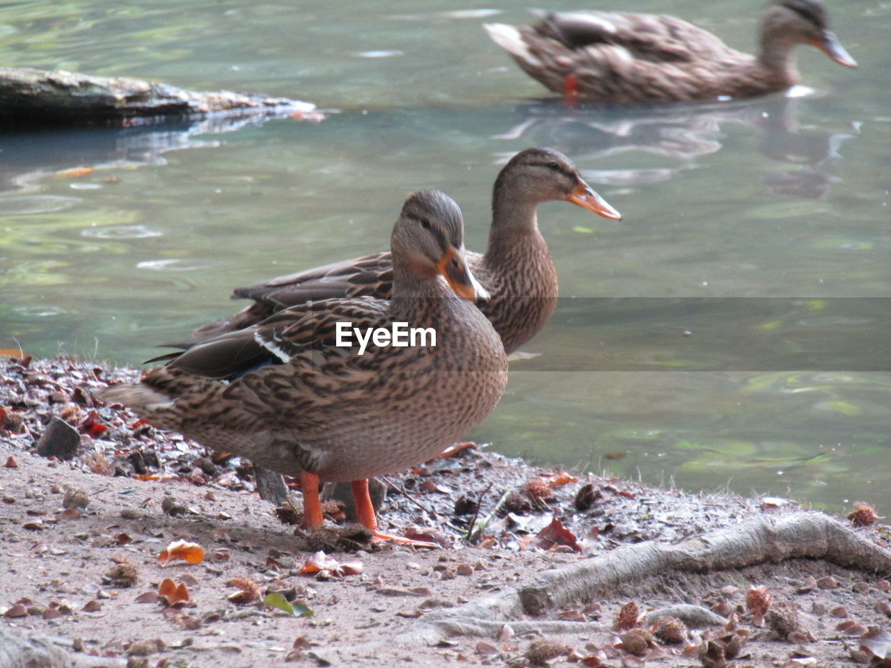animals in the wild, animal wildlife, bird, animal themes, vertebrate, animal, water, lake, group of animals, nature, day, no people, duck, poultry, lakeshore, beach, focus on foreground, outdoors