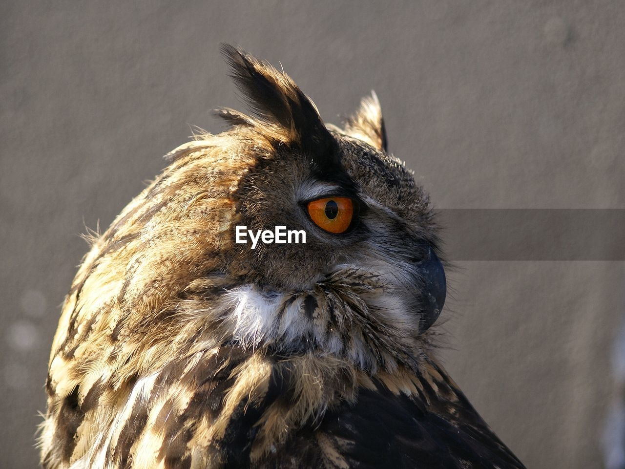 Side View Of Eurasian Eagle Owl