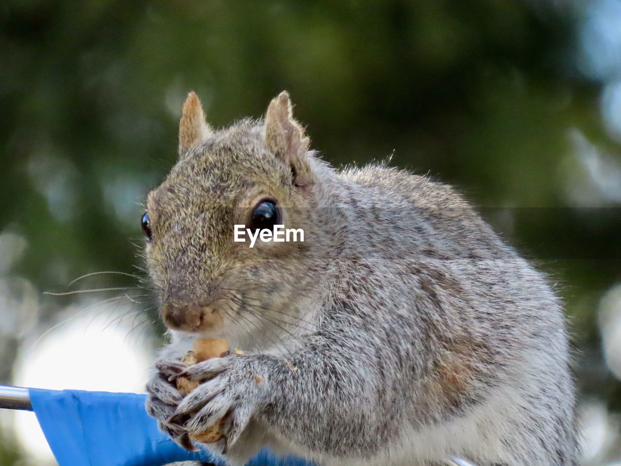 animal themes, animal, one animal, mammal, animal wildlife, rodent, close-up, focus on foreground, vertebrate, animals in the wild, no people, squirrel, day, eating, whisker, nature, food, food and drink, outdoors, domestic, animal eye