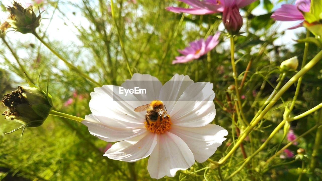 flower, petal, growth, nature, animal themes, flower head, fragility, one animal, beauty in nature, freshness, insect, animals in the wild, plant, white color, outdoors, day, no people, pollen, bee, blooming, animal wildlife, close-up, pollination