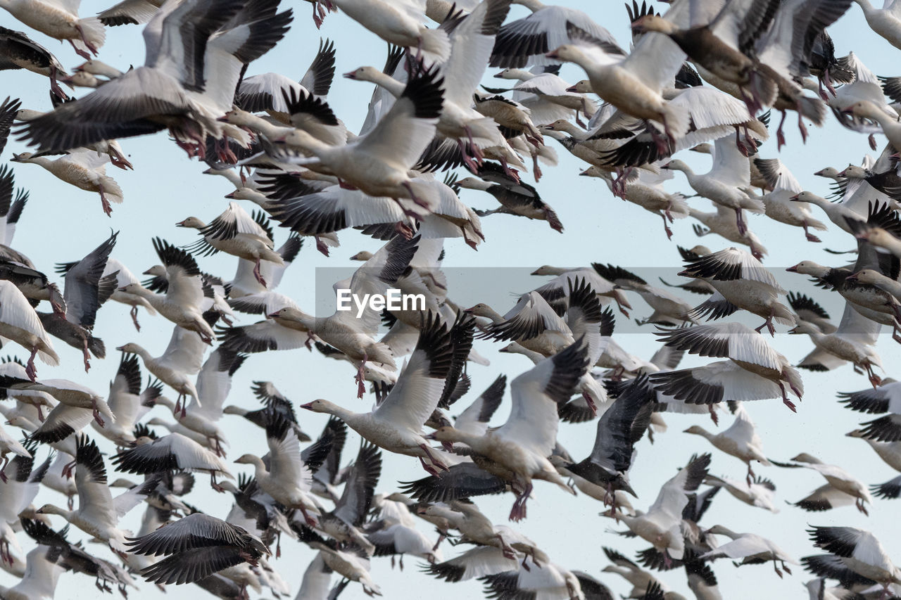 bird, animal wildlife, animal, vertebrate, flying, animals in the wild, animal themes, low angle view, flock of birds, large group of animals, spread wings, group of animals, sky, day, no people, nature, motion, abundance, beauty in nature, mid-air, outdoors, flapping