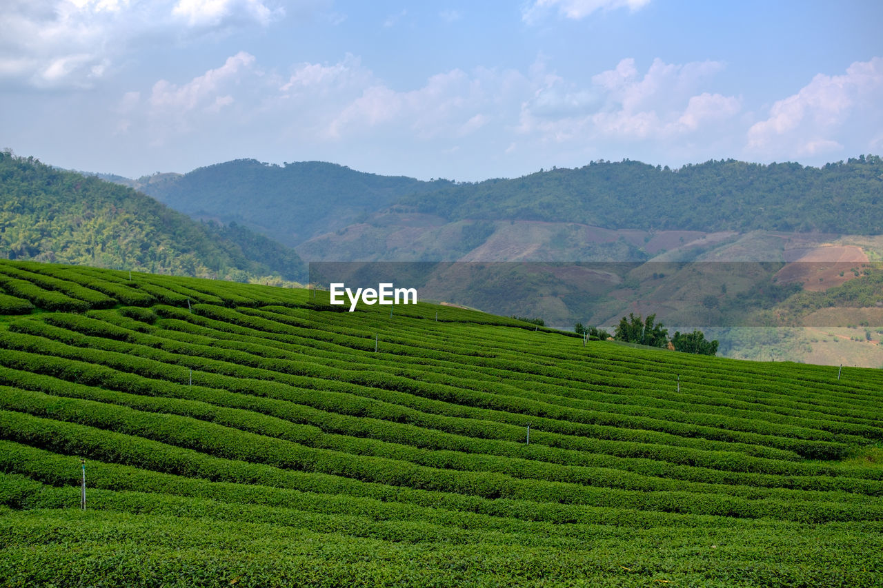 landscape, scenics - nature, beauty in nature, field, land, green color, growth, mountain, agriculture, rural scene, sky, crop, environment, tranquil scene, farm, tea crop, plant, tranquility, cloud - sky, nature, plantation, no people, outdoors