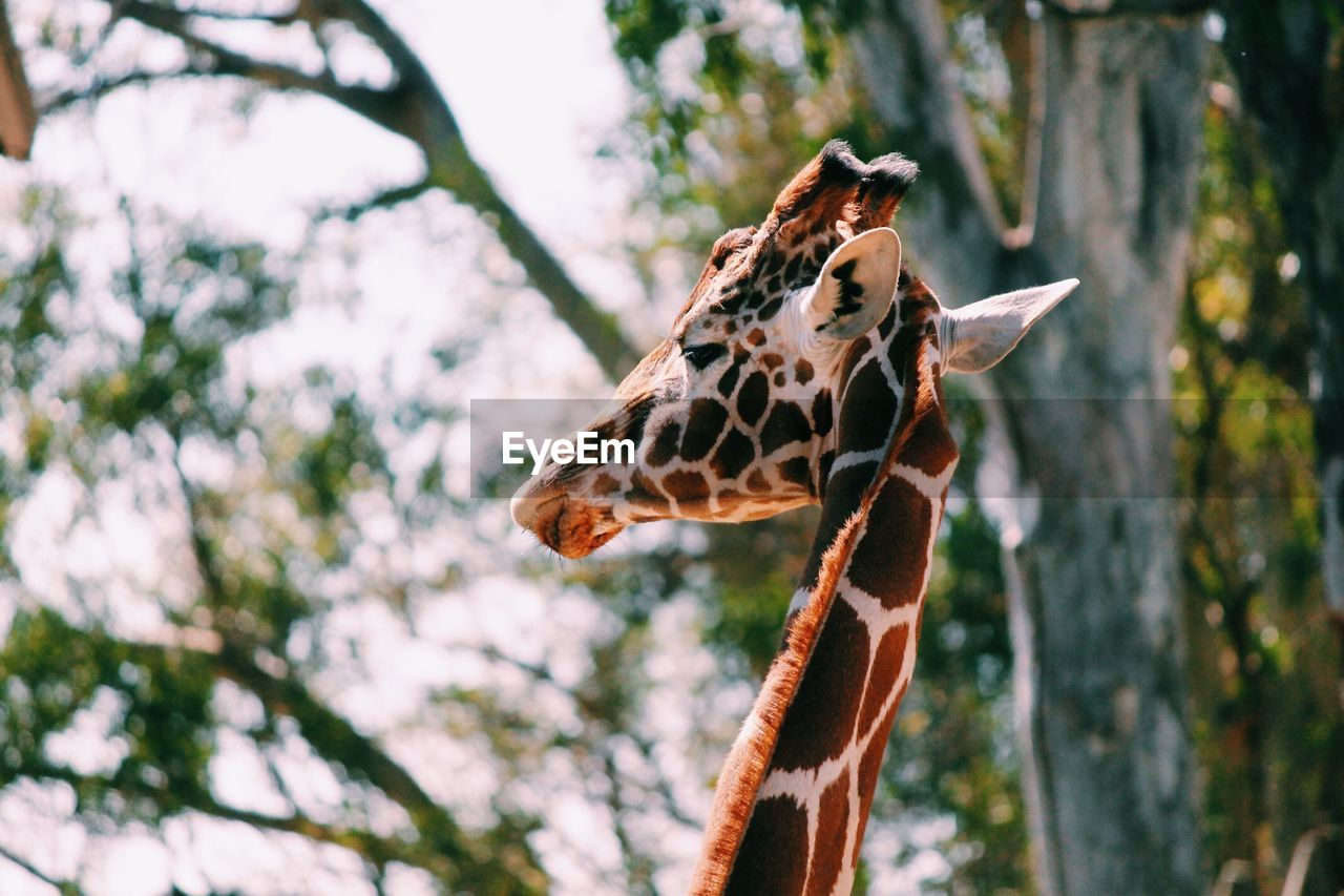 Close-up of giraffe against tree
