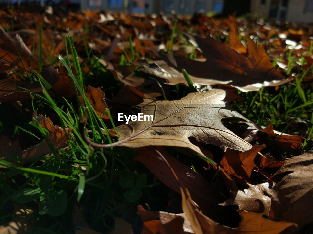 leaf, dry, autumn, change, nature, outdoors, day, no people, close-up, fragility, beauty in nature, grass, maple