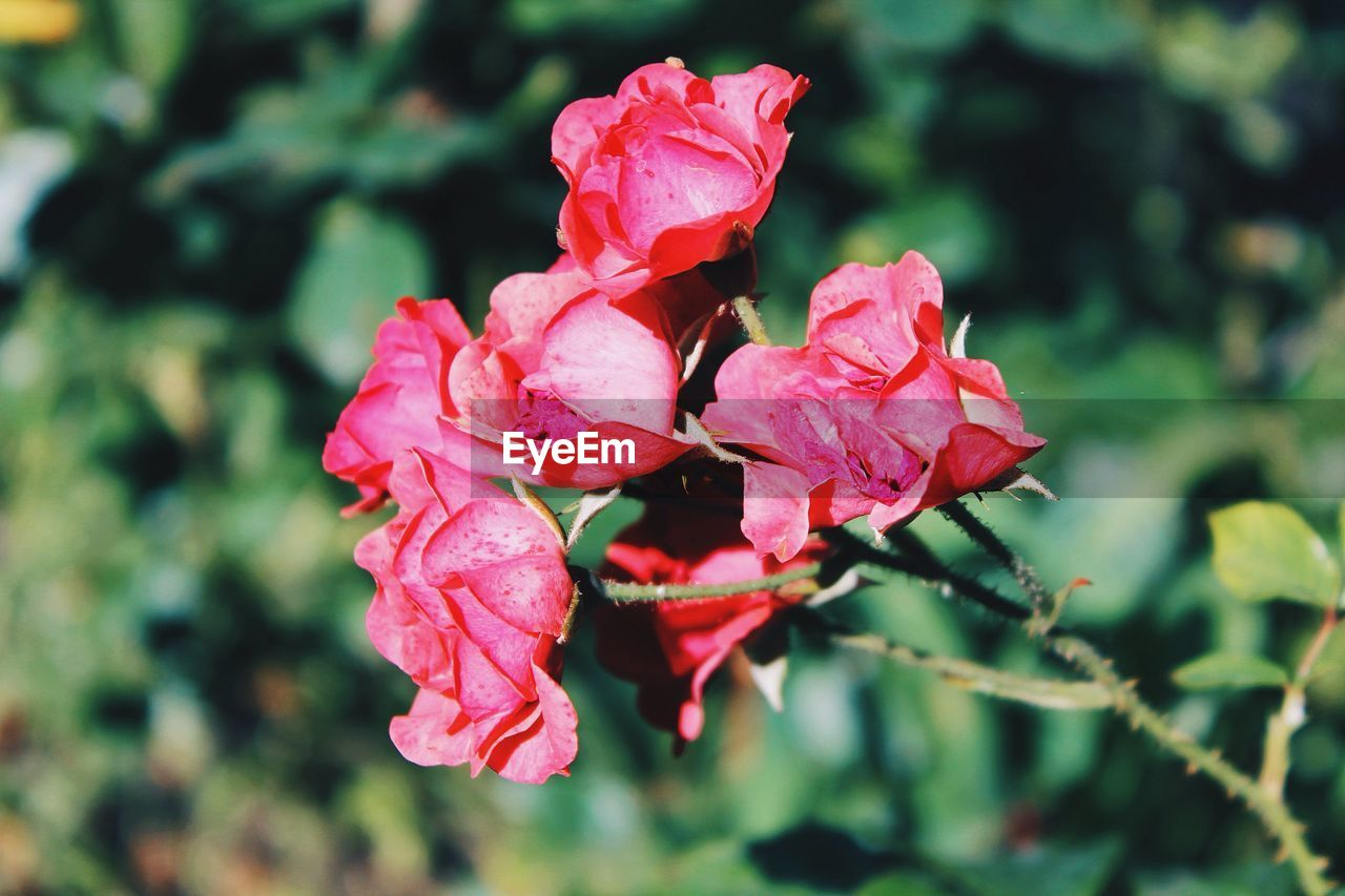 flower, petal, nature, beauty in nature, growth, fragility, rose - flower, flower head, plant, no people, pink color, blooming, outdoors, freshness, day, focus on foreground, red, close-up, water