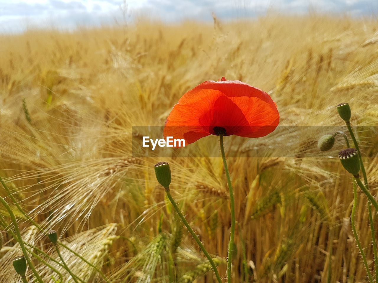 flower, growth, plant, nature, field, beauty in nature, poppy, fragility, flower head, no people, freshness, day, petal, close-up, outdoors, grass, blooming, red