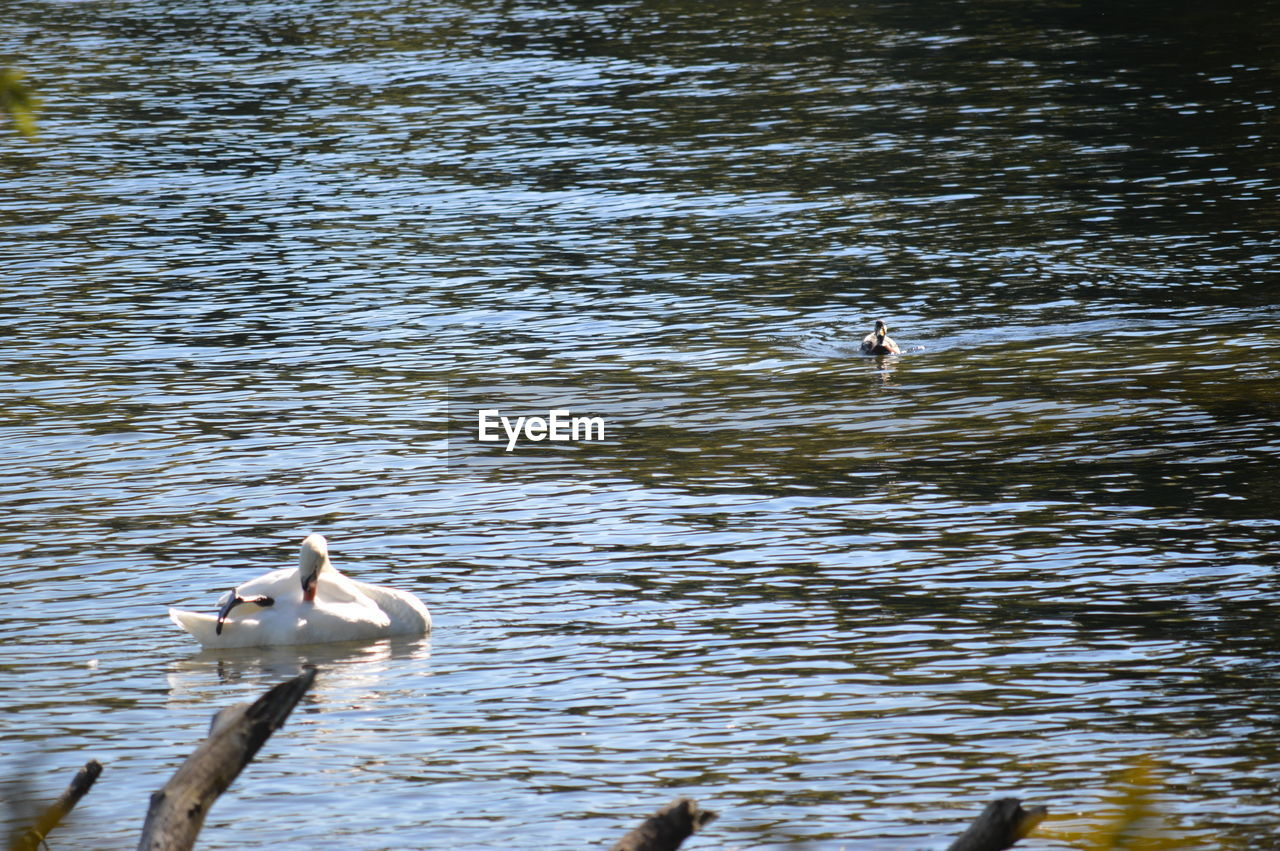 animals in the wild, animal themes, bird, water, lake, animal wildlife, nature, waterfront, no people, one animal, swimming, day, water bird, outdoors, swan, beauty in nature, foraging, spread wings