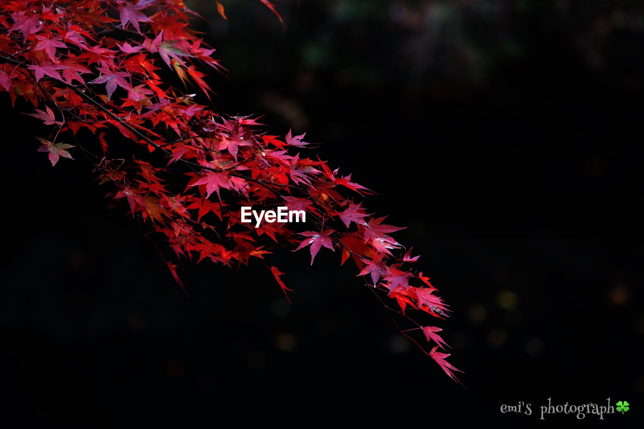 red, growth, autumn, tree, nature, change, beauty in nature, leaf, close-up, branch, season, focus on foreground, tranquility, outdoors, no people, selective focus, day, plant, forest, flower