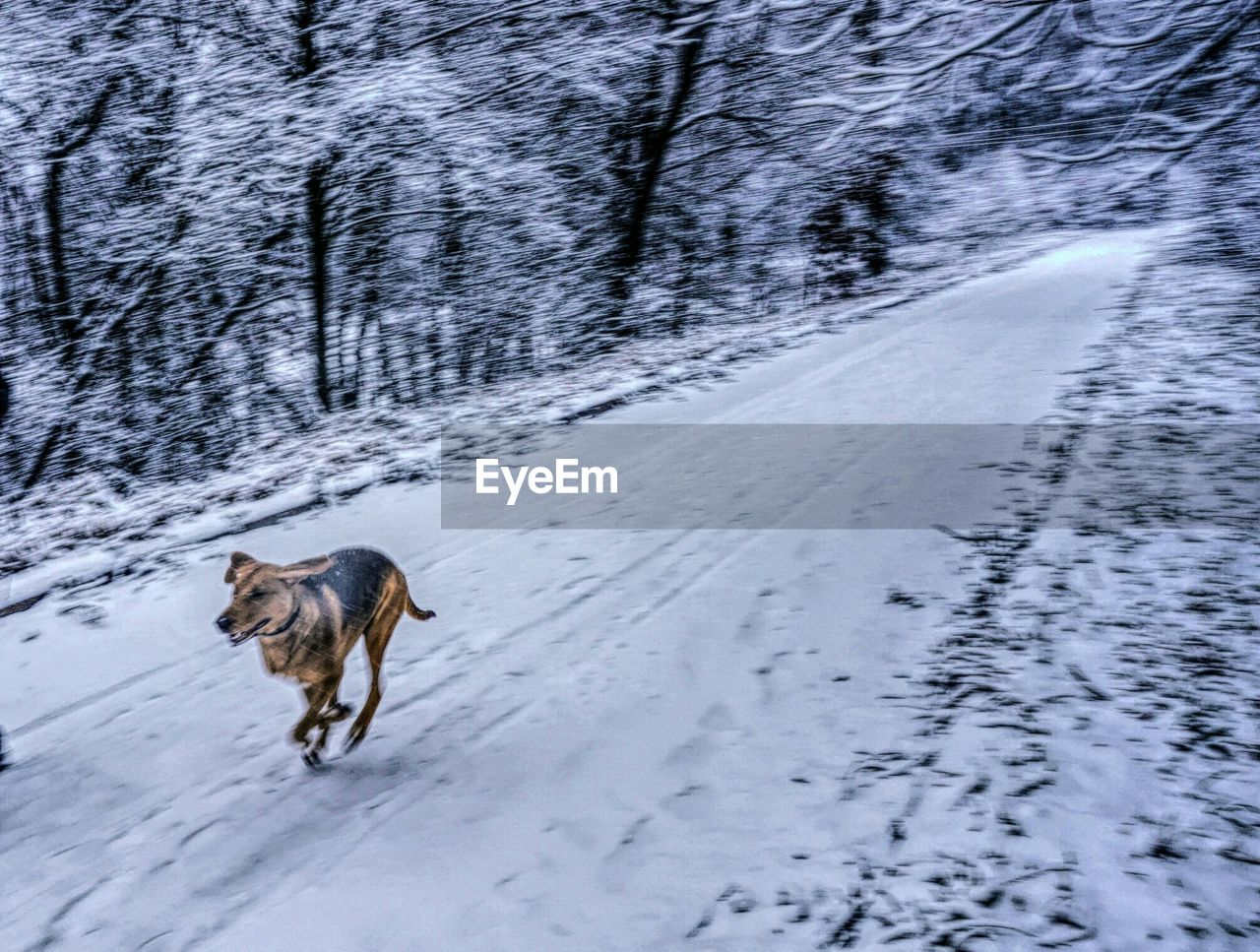 Blurred Motion Of Dog Running On Snow Covered Pathway By Trees