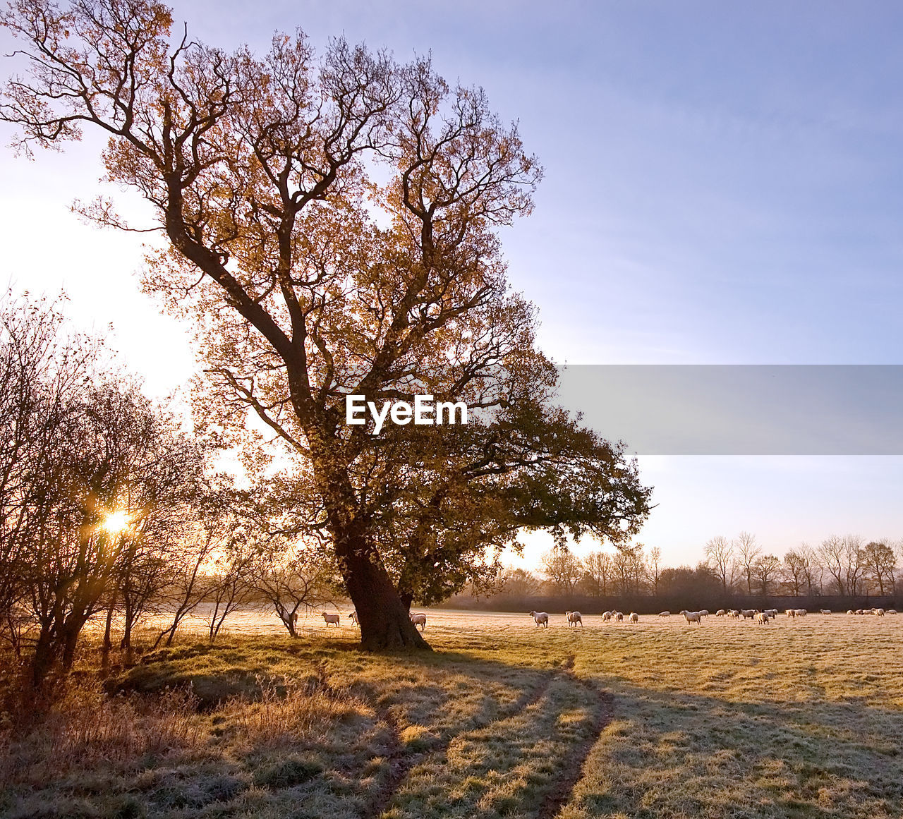 sky, plant, tree, field, beauty in nature, tranquility, tranquil scene, landscape, nature, land, environment, scenics - nature, no people, sunlight, growth, non-urban scene, outdoors, day, sun, grass