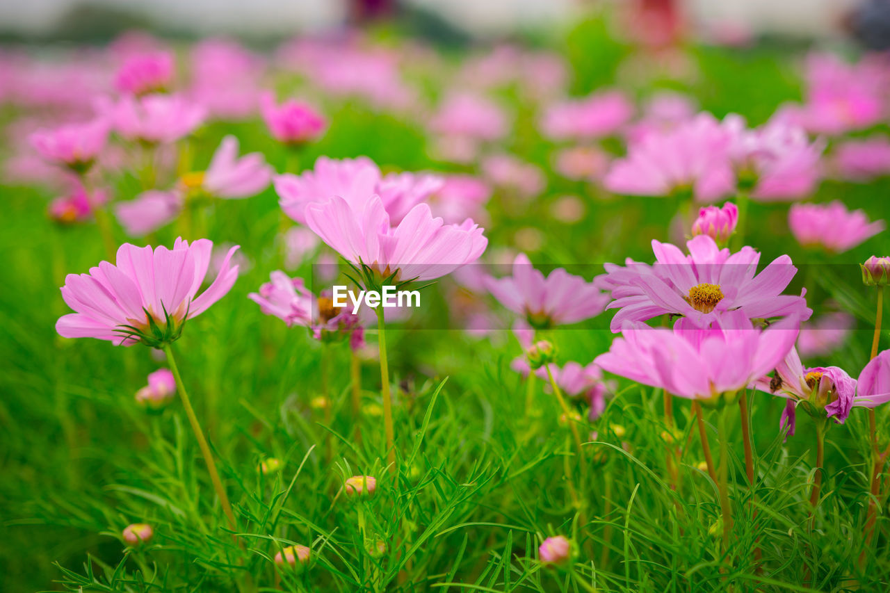 flowering plant, flower, plant, vulnerability, fragility, freshness, beauty in nature, growth, petal, pink color, land, field, flower head, inflorescence, close-up, no people, selective focus, nature, day, green color